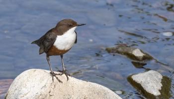 Vai zini, kas putnu saimē ir ziemas viesi?